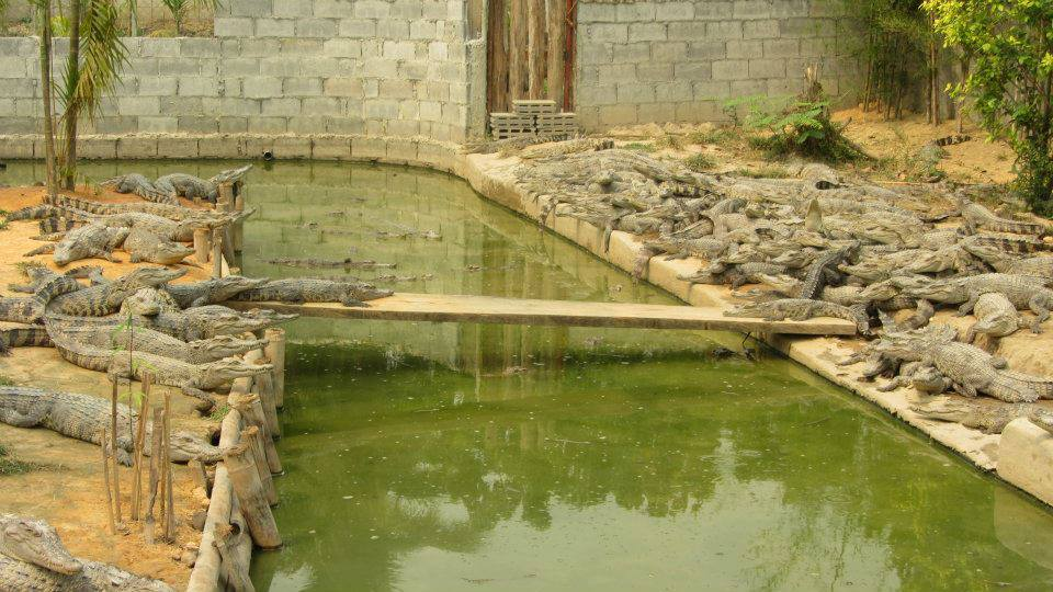 krokodeilei