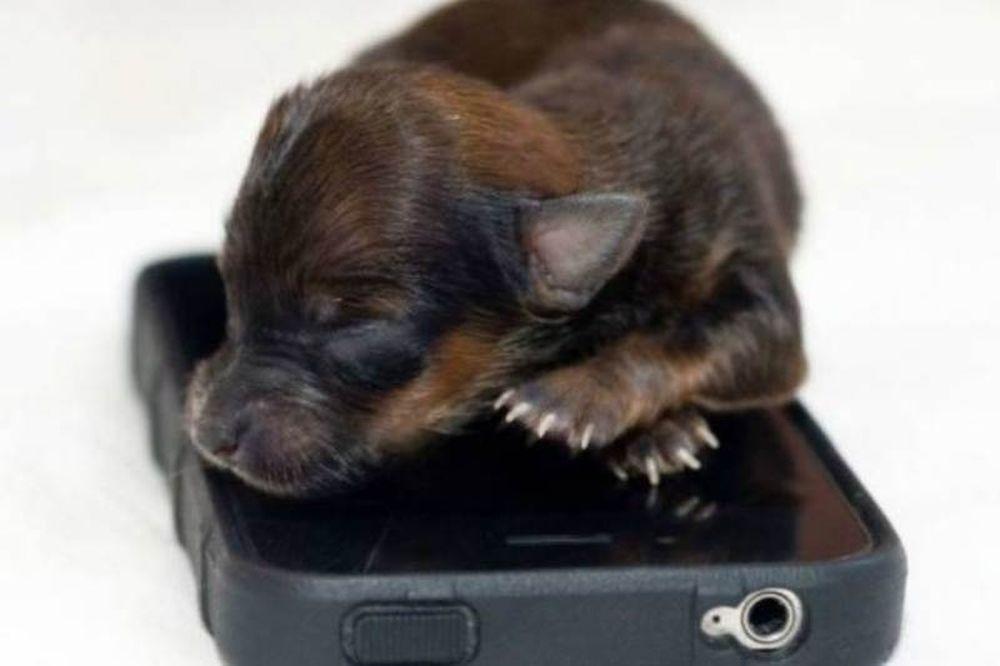 Κουτάβι έχει μέγεθος ενός iPhone (pics)