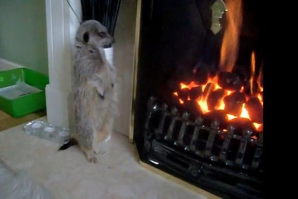Εκπληκτικό: Η μαγκούστα ζεσταίνεται στο τζάκι!