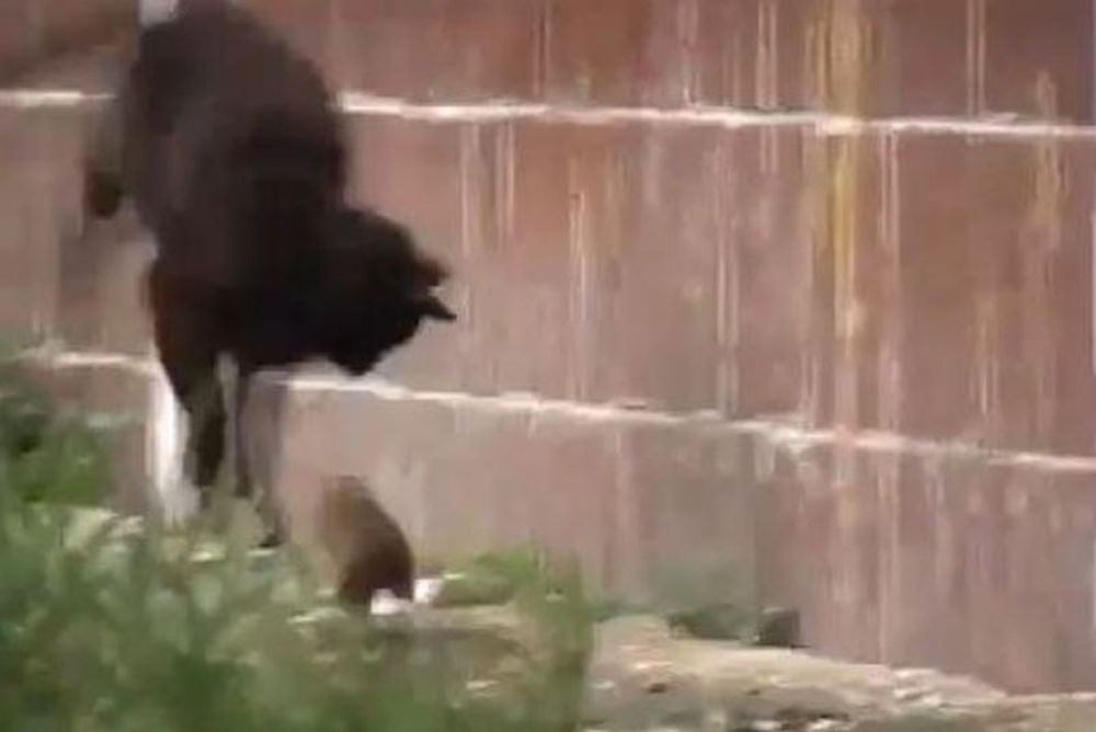 Και όμως... Γάτες τα... έκαναν μόλις είδαν ποντίκι (video)