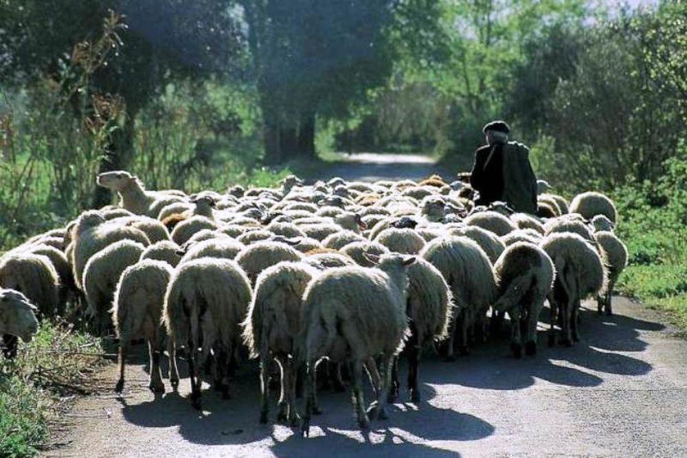 «Έφαγαν» 170 πρόβατα από στάνη