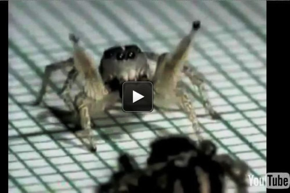 Απίστευτο: Μια αράχνη σε ρυθμούς... ρούμπα!