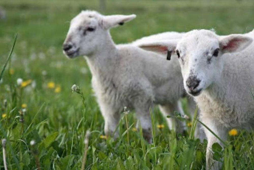 Κοπάδι πρόβατα βόσκησε… χασίς!