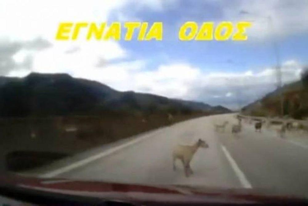 Απίστευτο βίντεο: Μπήκαν τα γίδια... στην Εγνατία οδό!