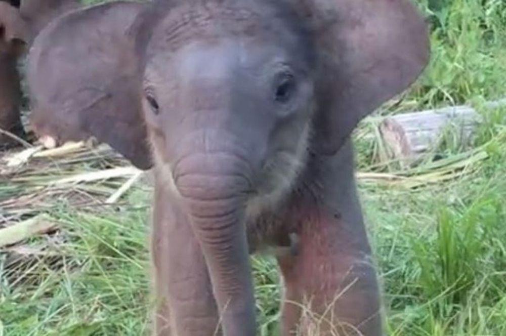 Το μωρό-ελεφαντάκι και η προβοσκίδα του (βίντεο)