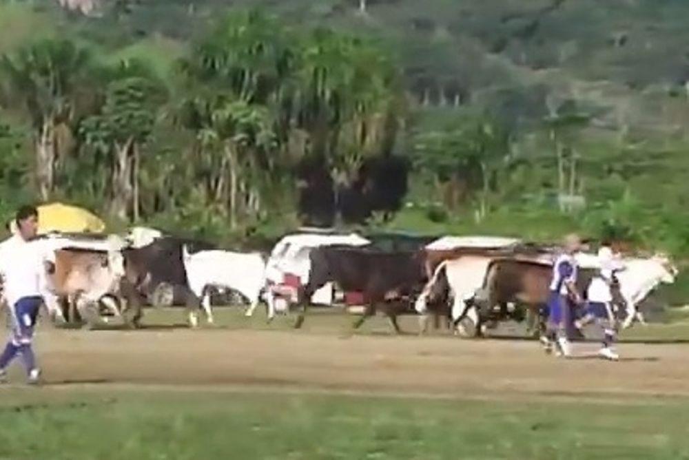Περού: Ντου... αγελάδων σε ποδοσφαιρικό ματς! (video)
