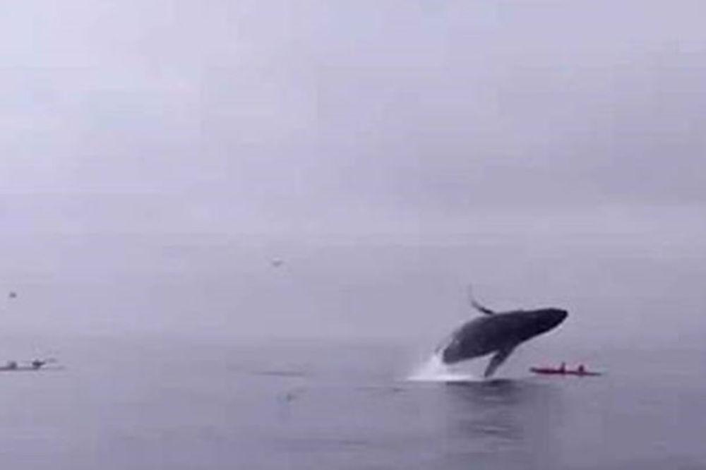 Τρόμος στα ανοιχτά: Φάλαινα παραλίγο να σκοτώσει κωπηλάτες! (video)