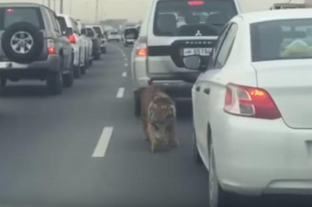 ΑΔΙΑΝΟΗΤΟ: Τίγρης «κόβει» βόλτες σε δρόμους πρωτεύουσας! (video)