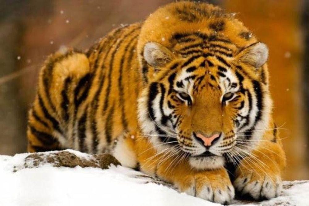 Πανικός στην Ολλανδία: Δύο τίγρεις δραπέτευσαν από καταφύγιο αιλουροειδών κι έκτοτε αναζητούνται
