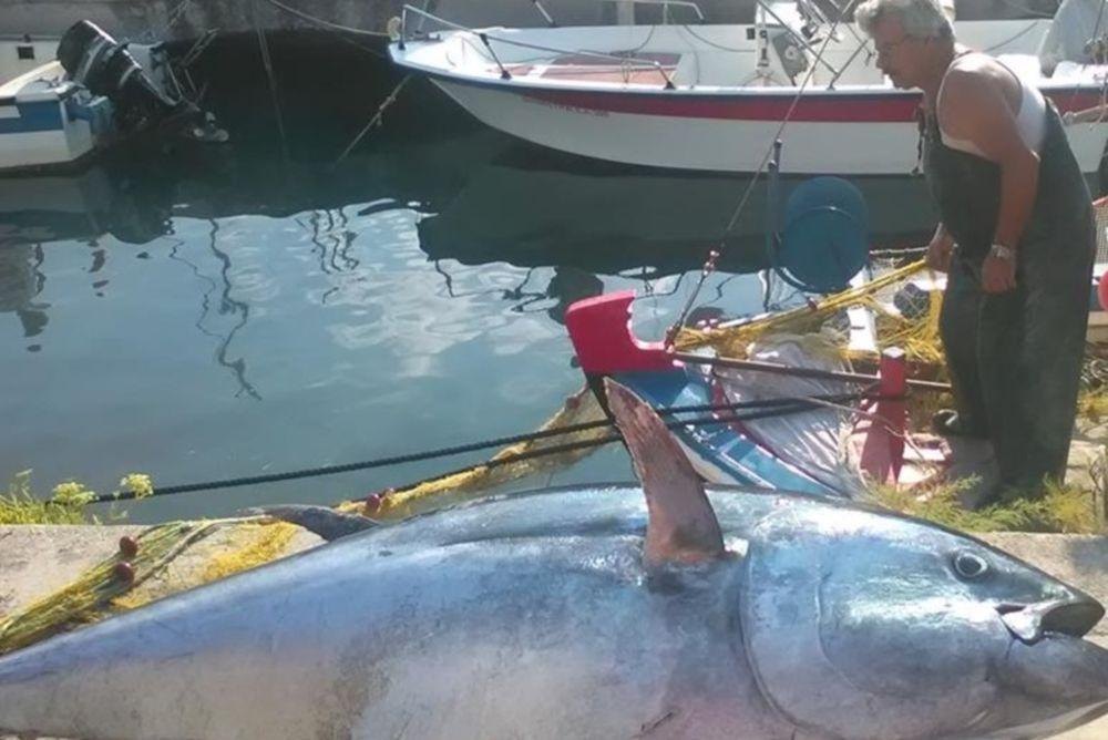 Απίστευτο: Ψαρεύτηκε τόνος 220 κιλών στην Κεφαλονιά! (photos)