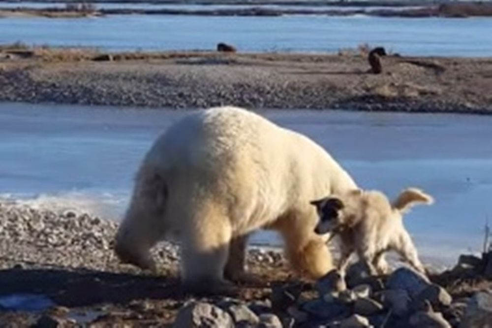 Πολική αρκούδα χαϊδεύει σκυλάκι (video)