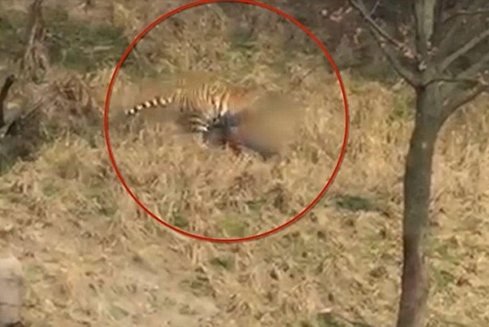 Τίγρεις κατασπάραξαν τουρίστα μπροστά στην οικογένειά του! (video)