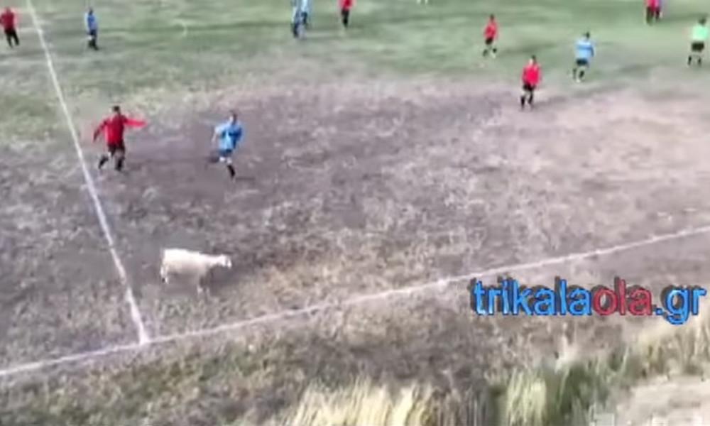 Κλάμα! Παίκτες κυνηγούν προβατίνα σε γήπεδο τοπικού πρωταθλήματος! (videos)