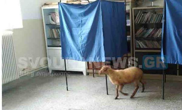 Πρόβατο μπήκε σε εκλογικό κέντρο στην Καστοριά... και δεν είναι ψηφοφόρος!