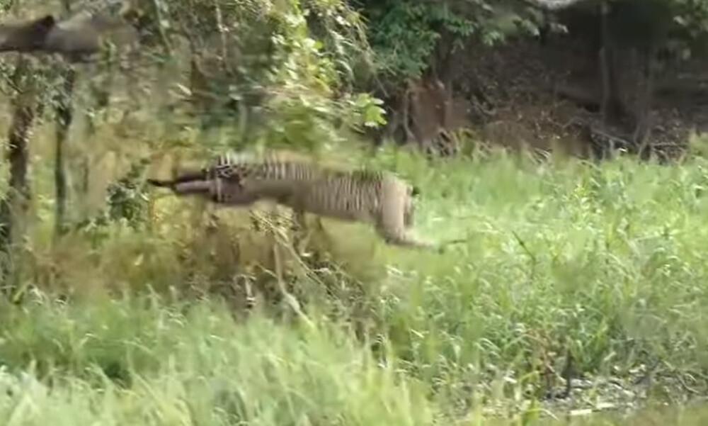 Άγρια επίθεση τζάγκουαρ σε κροκόδειλο - Ακολούθησε μεγάλη μάχη (video)
