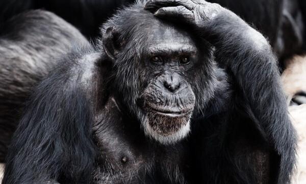 Τουρίστας πέταξε τσιγάρο σε κλουβί χιμπατζή – Θα πάθετε σοκ όταν δείτε τι έκανε (pics)