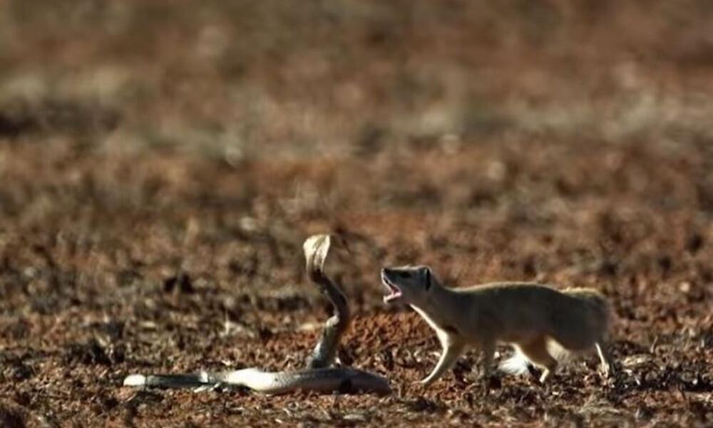 Κόμπρα πετάει το δηλητήριό της σε μάχη με μαγκούστα! Απίστευτη μονομαχία