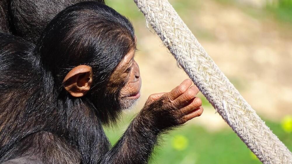 Επιλεκτικές φιλίες: Όταν οι χιμπατζήδες «διδάσκουν» τους ανθρώπους