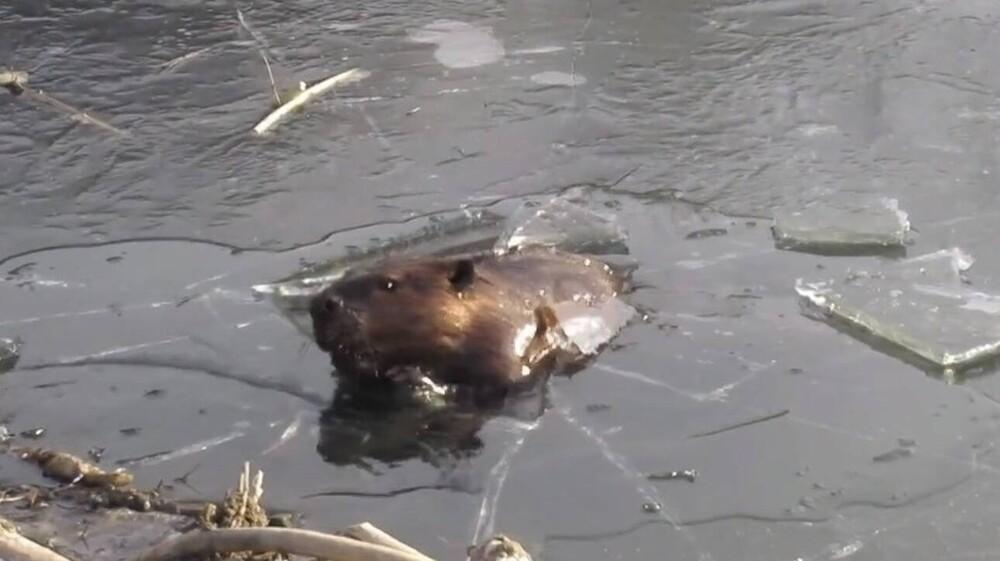 Κάστορας σπάει, κυριολεκτικά, τον πάγο και γίνεται viral