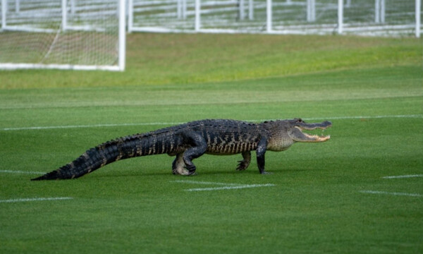 Τρόμος σε προπόνηση ομάδας - Είδαν αλιγάτορα και έτρεχαν να σωθούν οι παίκτες (photos+video)
