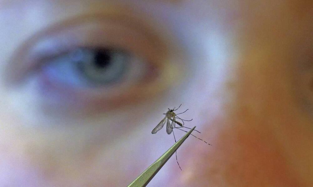 Επιστήμονες… χάκαραν με «θαυματουργό» βακτήριο κουνούπια για να αντιμετωπίσουν τον δάγκειο πυρετό