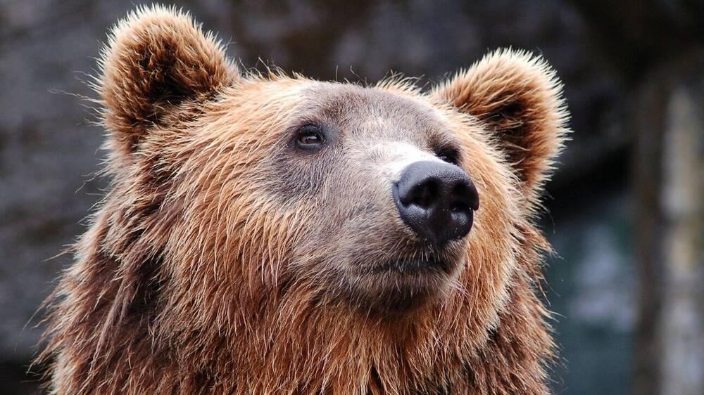 Κοζάνη: Νεκρή από σφαίρες αρκούδα στο Βροντερό Πρέσπας