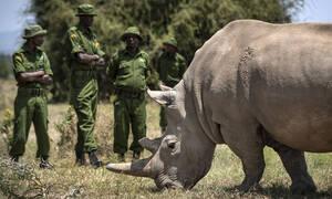 Κένυα: Απειλή εξαφάνισης για σπάνιο είδος λευκού ρινόκερου